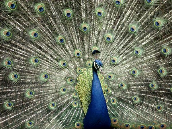 burung merak biru