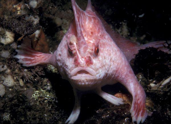 Ikan Merah muda bertangan